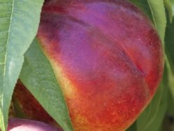 Wade Nursery nectarines