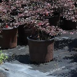 Wade Nursery popular shrubs