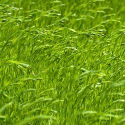 Wade Nursery flax grass