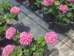 Wade Nursery hydrangeas