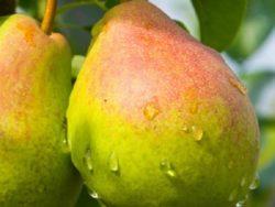 Wade Nursery pears