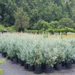 Wade Nursery privacy trees