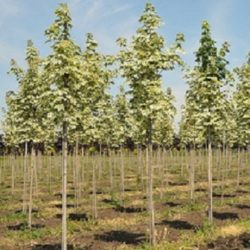 Wade Nursery baby Maple trees