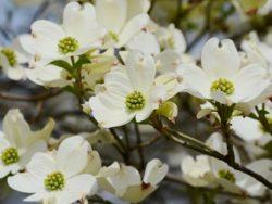 Wade Nursery Dogwood Blooms