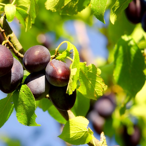 Wade Nursery plums