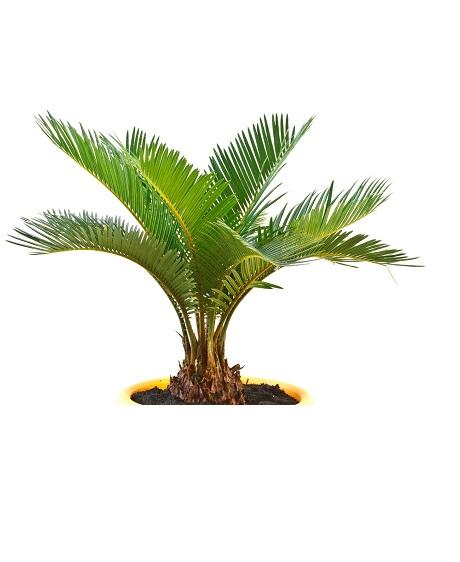 Wade Nursery palm