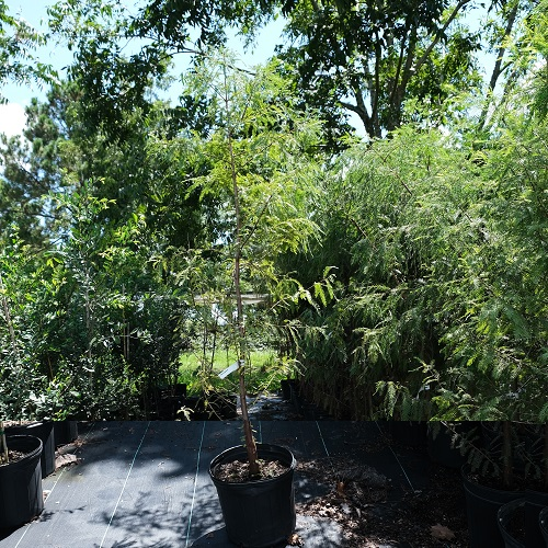 Wade Nursery Bald Cypress
