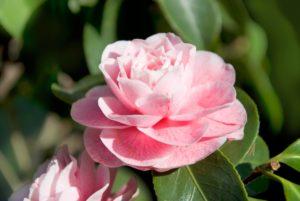 Wade Nursery Camellia