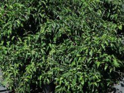 Wade Nursery kiwi