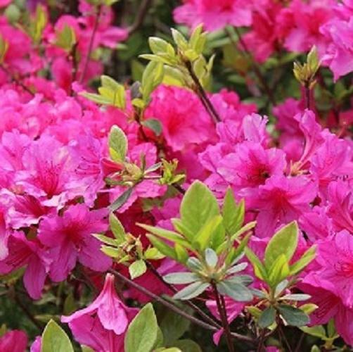Wade Nursery azaleas