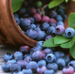 Wade Nursery rabbit eye blueberries