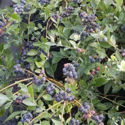 Wade Nursery blueberries