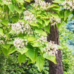 Wade Nursery catalpa tree