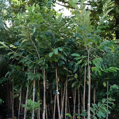 Wade Nursery chestnut