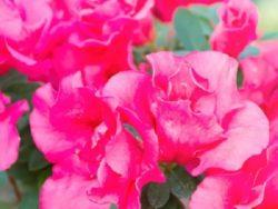 Wade Nursery azalea
