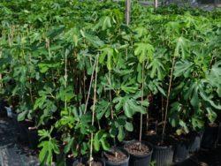Wade Nursery figs