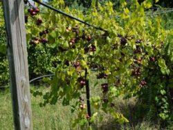 Wade Nursery muscadines ripening