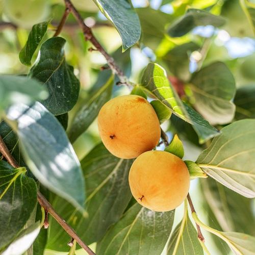 Wade Nursery persimmons