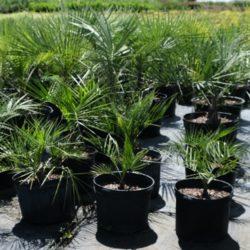 Wade Nursery pinto palms