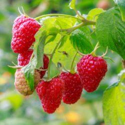 Wade Nursery raspberries