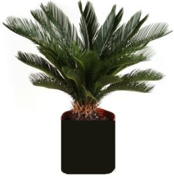 Wade Nursery sago palm