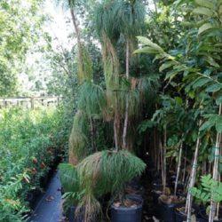 Wade Nursery pines